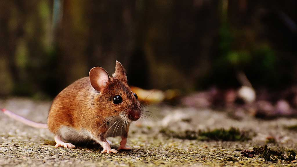 When-rodents-enter-your-home